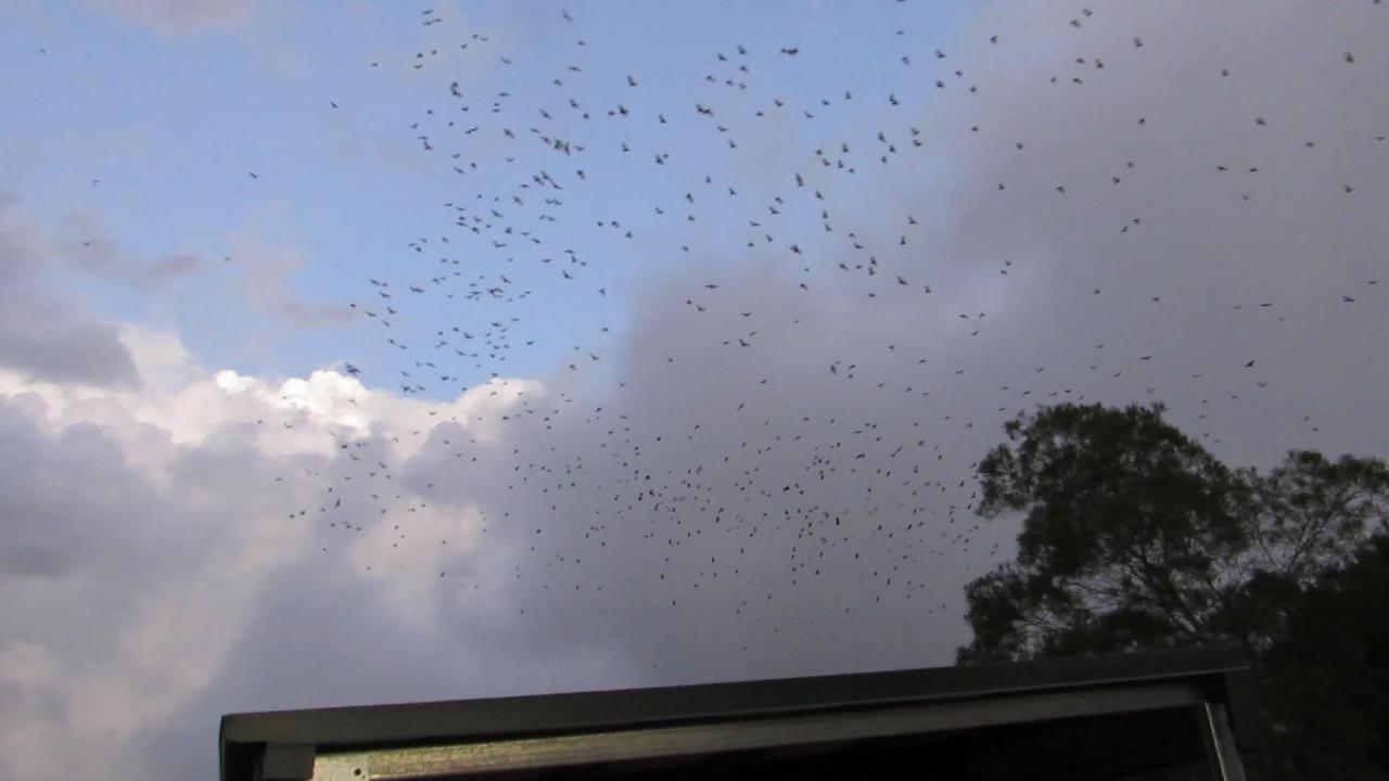 SALVATION: Bee Creek resident Jonathan Reichard captured the moment a massive bat colony took flight. Photo: Jonathan Reichard