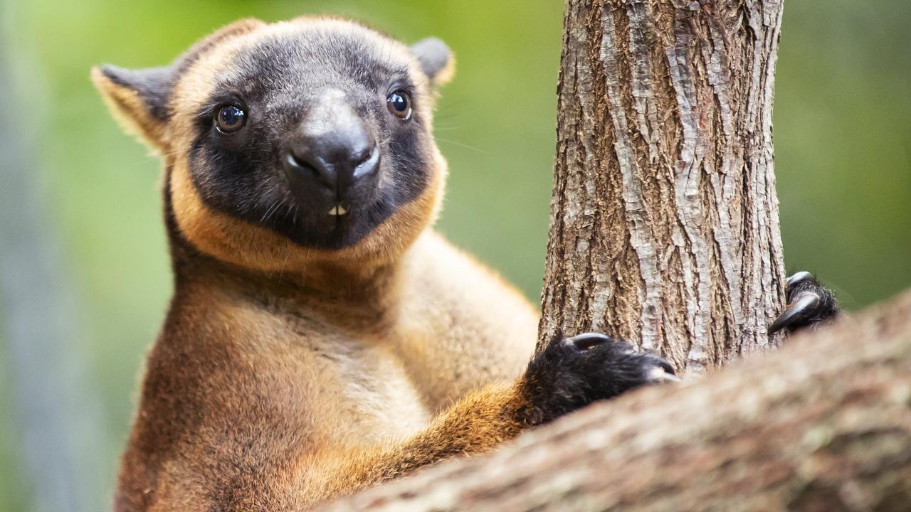 HOP: Julian the six-year-old Lumholtz's tree kangaroo has just arrived at Wildlife HQ. Photo: Lachie Millard