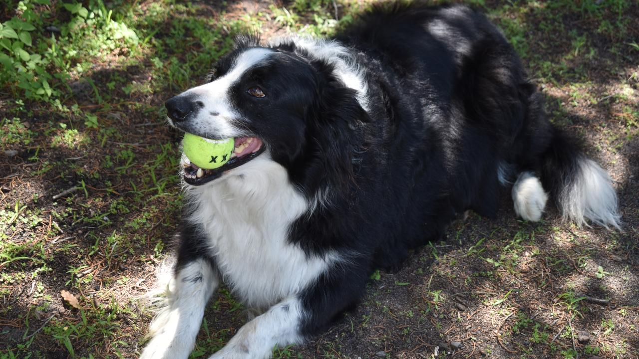 ACTION: Brax the superstar border collie with his favourite ball.