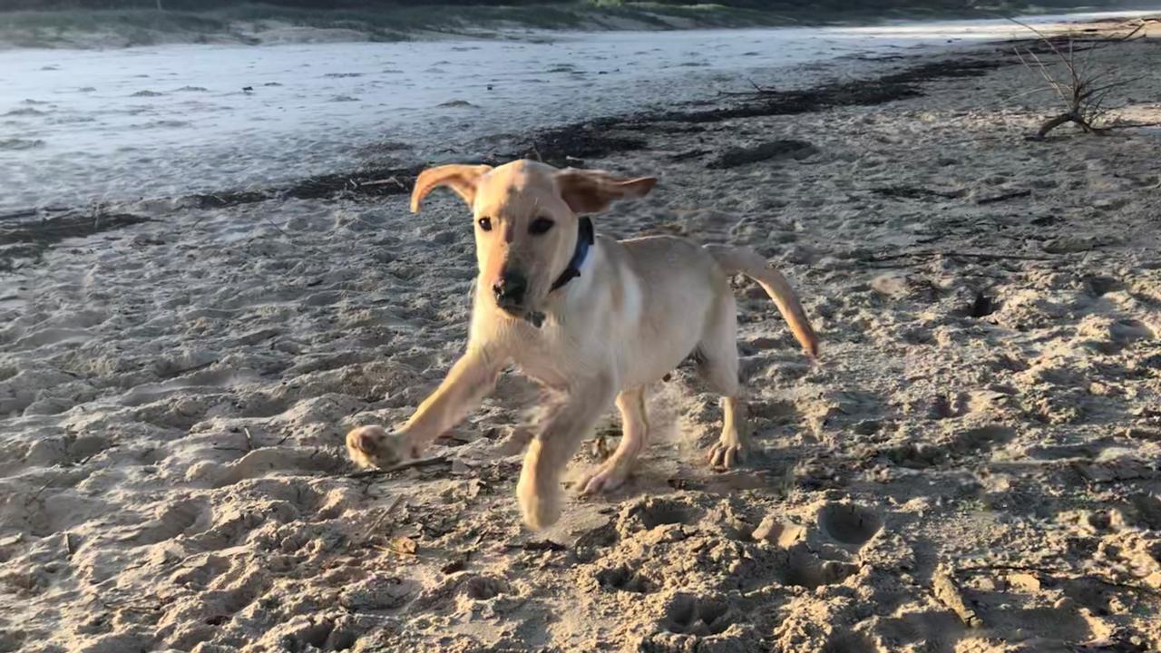 Local labrador Snapper plays at Lennox Head's Seven Mile Beach.