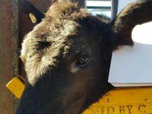 Farmer accused of calf disfigurement, theft faces court