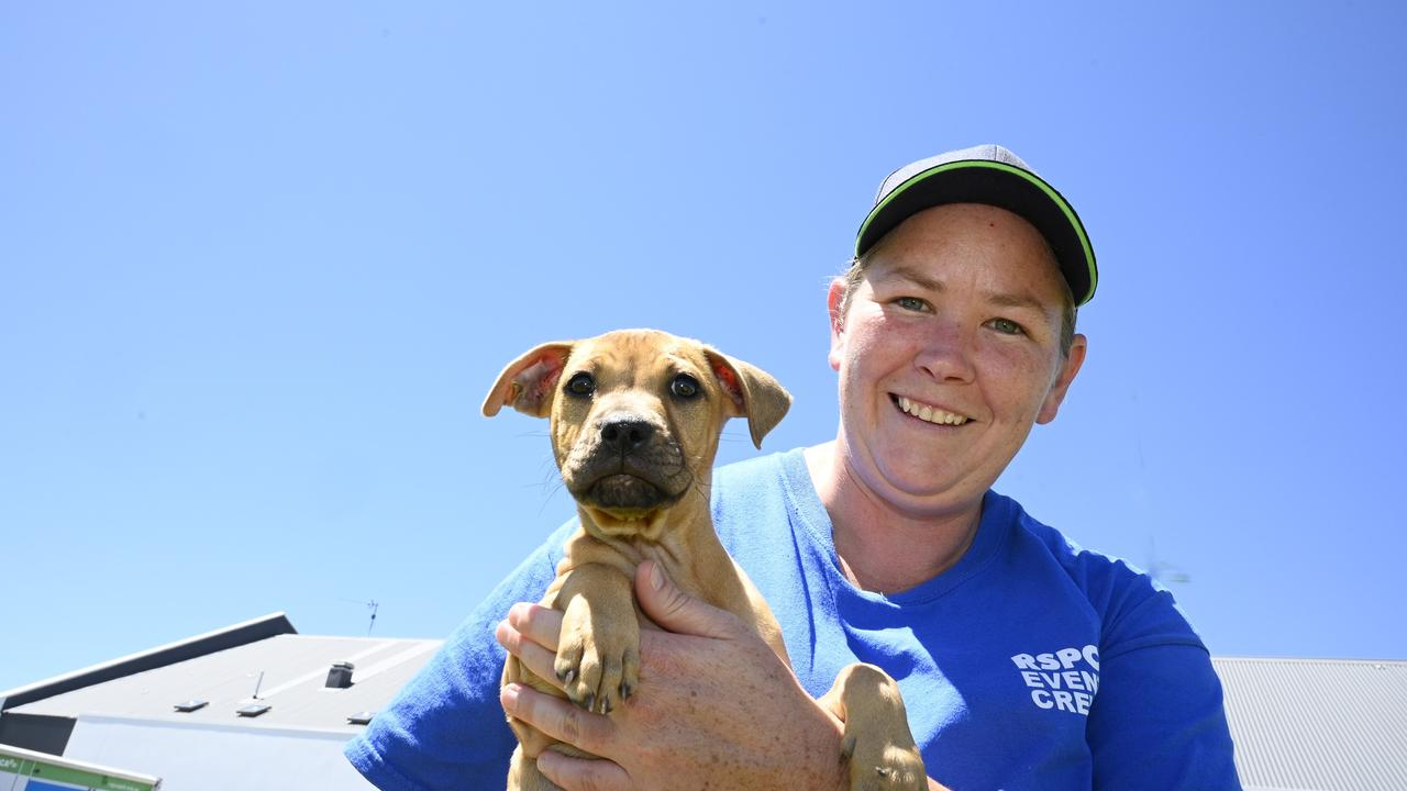 Sally, a 10 week old Staffy cross puppy who will be available for adoption with Erin McNamara, Foster Care Co-ordinator. RSPCA open day with $29 adoptions. Picture: Bev Lacey
