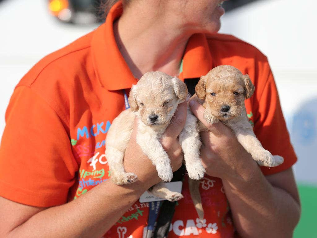 Puppies are taken from the trailer to the surgery to be checked. Picture: Mark Cranitch
