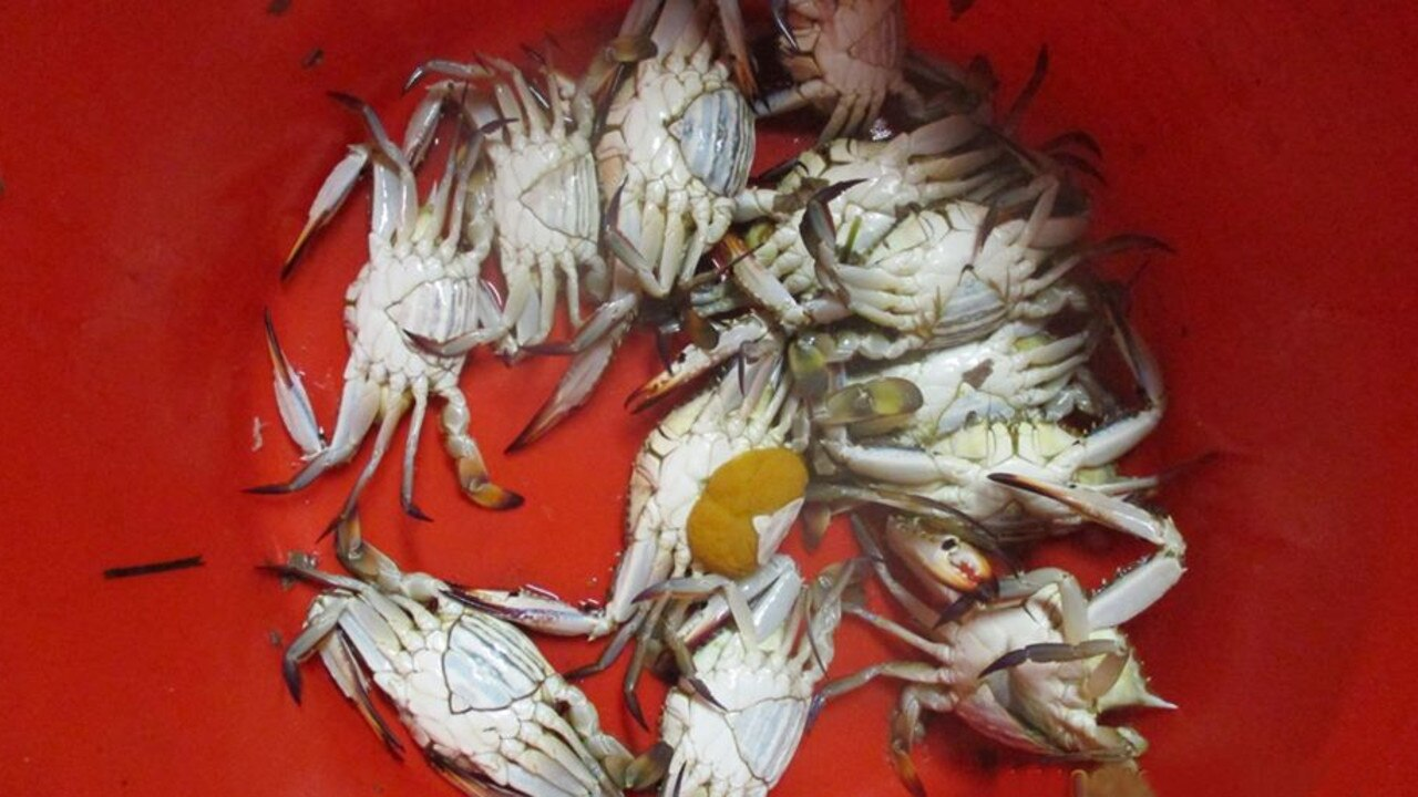 Catching female crabs has been outlawed in Queensland since 1914. Picture: Fisheries Queensland.