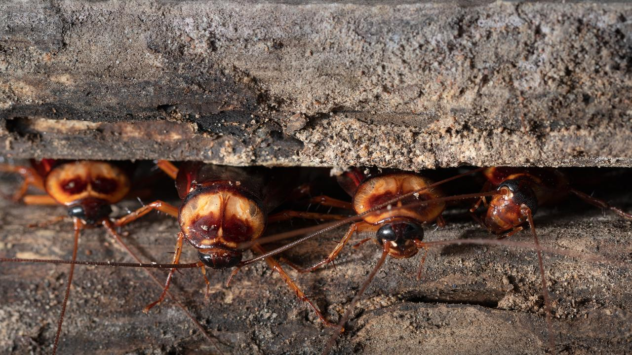 Live cockroaches and faeces were found in Greenslopes cafe Kafe Me, which has led to a $15,000 fine in Holland Park Magistrates Court. Picture: iStock