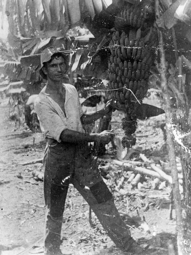 Jack Morgan harvesting bananas on Morgan's farm at Coolum, ca 1922.