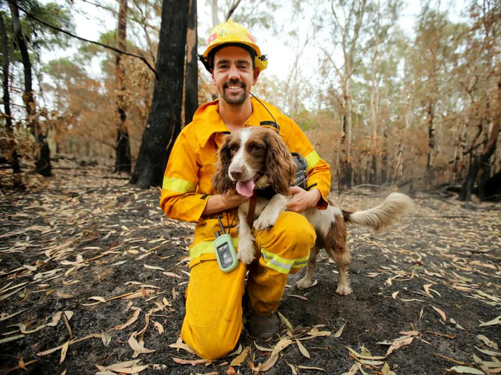Ryan Tate from TATE Animal Training Enterprises with his Springer Spaniel Taylor the Koala detection dog, searching the fire ground near Port Macquarie for burnt or injured koalas.