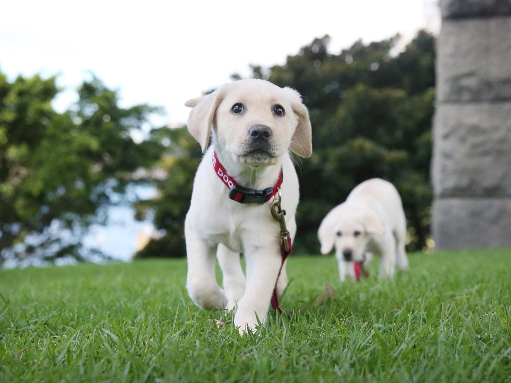 Guide Dog Puppies Katie and Kasey who will one day grow up to help others in a range of roles, just like China. Picture: Richard Dobson