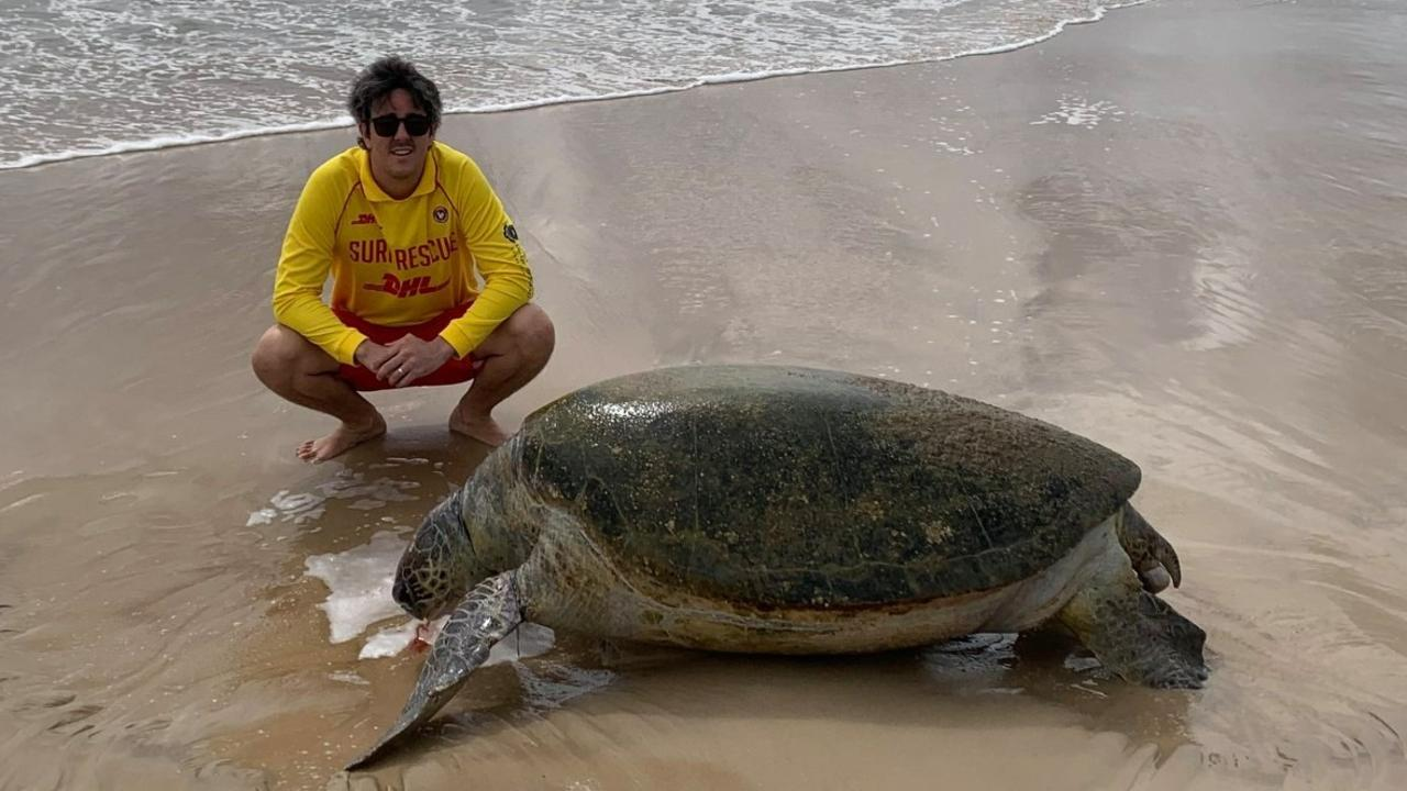 A lifeguard inspects a large, female green turtle which was found dead on the sand at Peregian Beach on Saturday.