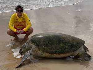 Massive turtle found dead on Coast beach