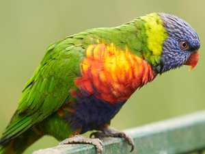 Lorikeet epidemic delivers 'frustrating' test results