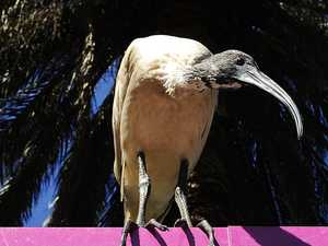 'We should drug the ibis and drive them out west'