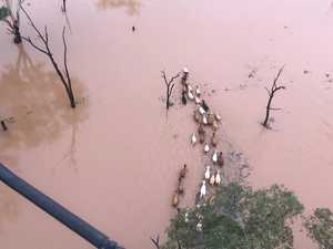 INCREDIBLE VIDEO: Chopper pilot saves cattle from floods