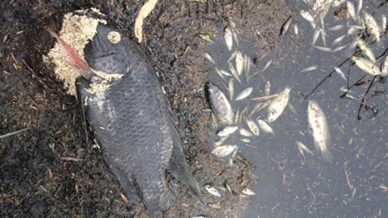 Some of the dead fish at Dowse Lagoon, Sandgate. Picture: Frank Box