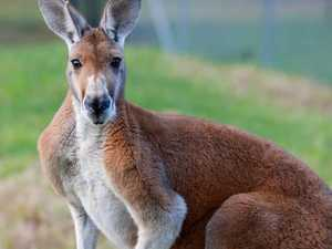 Motorcyclist has serious injuries after hitting roo