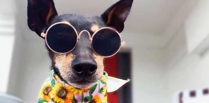 Hadley is a fashionista English Toy Terrier who just turned 13. Theyre a rare breed currently listed as vulnerable.