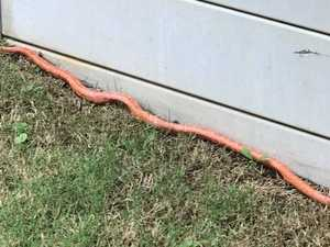 Rare snake sparks biosecurity threat in Queensland