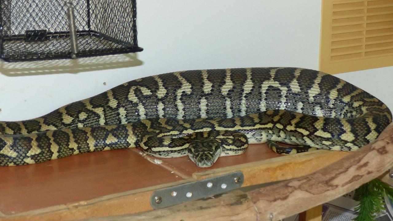 This Coastal Carpet Python killed a possum at a Murwillumbah primary school before being picked up by Murwillumbah snake catchers. In an extraordinary feat that stumped local catcher Max Walker, the snake managed to eat a possum almost as big as himself. Photo: Murwillumbah Snake Catchers