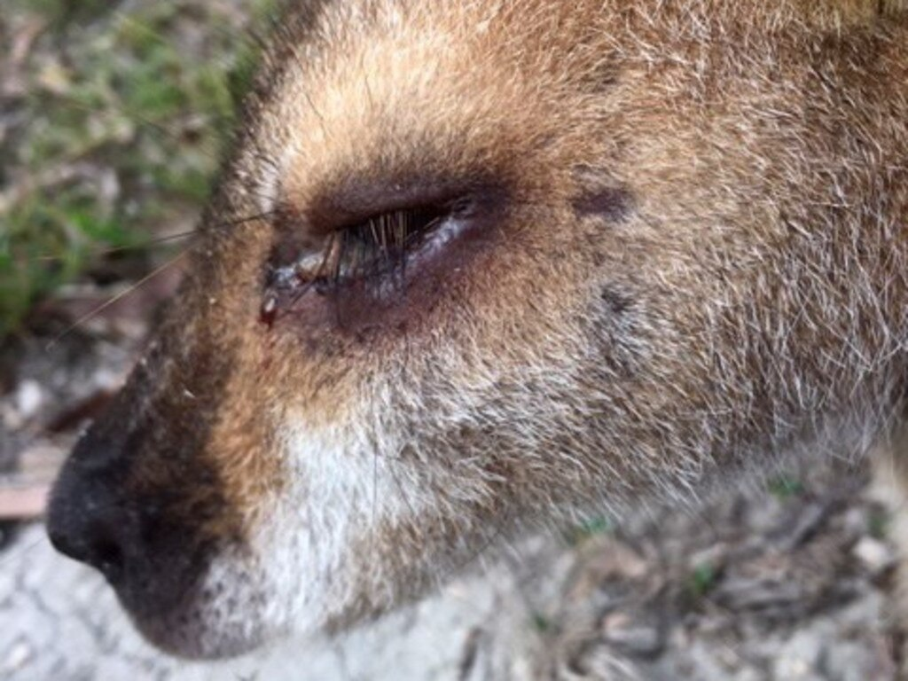 WIRES has recently found several wallabies with a deadly infection called 'Lumpy Jaw'. Picture: WIRES Northern Rivers Facebook