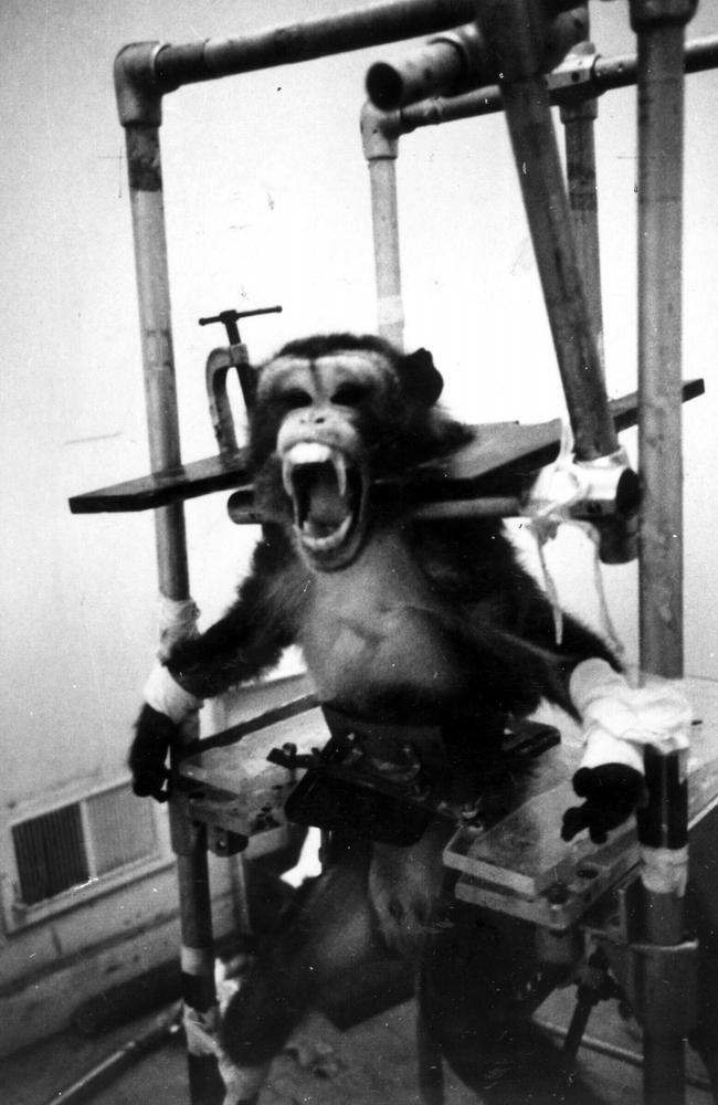 A small primate screams as he struggles against this torture-like contraption