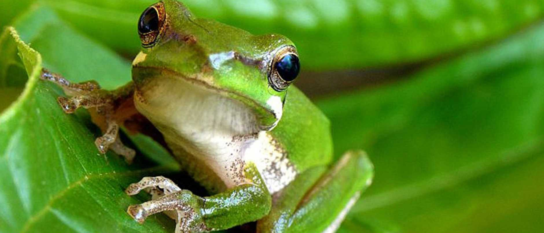 It's not easy being a local green frog, but locals are here to help.