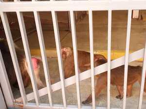 Baboons kept in 'barron prison'