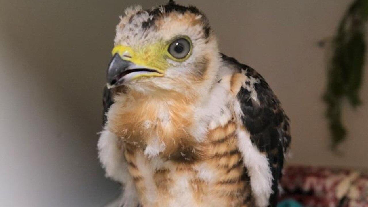Bertie bird rescued by Australia Zoo.