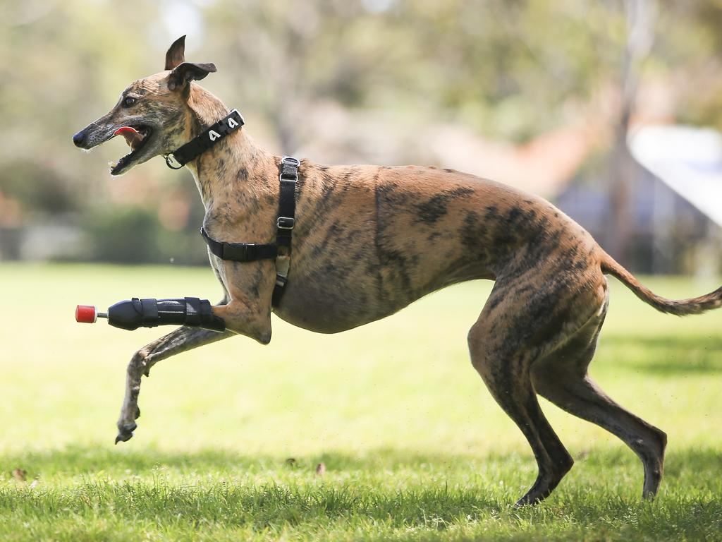 Millie is a 4-year-old rescue greyhound with the first 3D printed prosthetic leg for a dog in Australia. Picture: Dylan Robinson