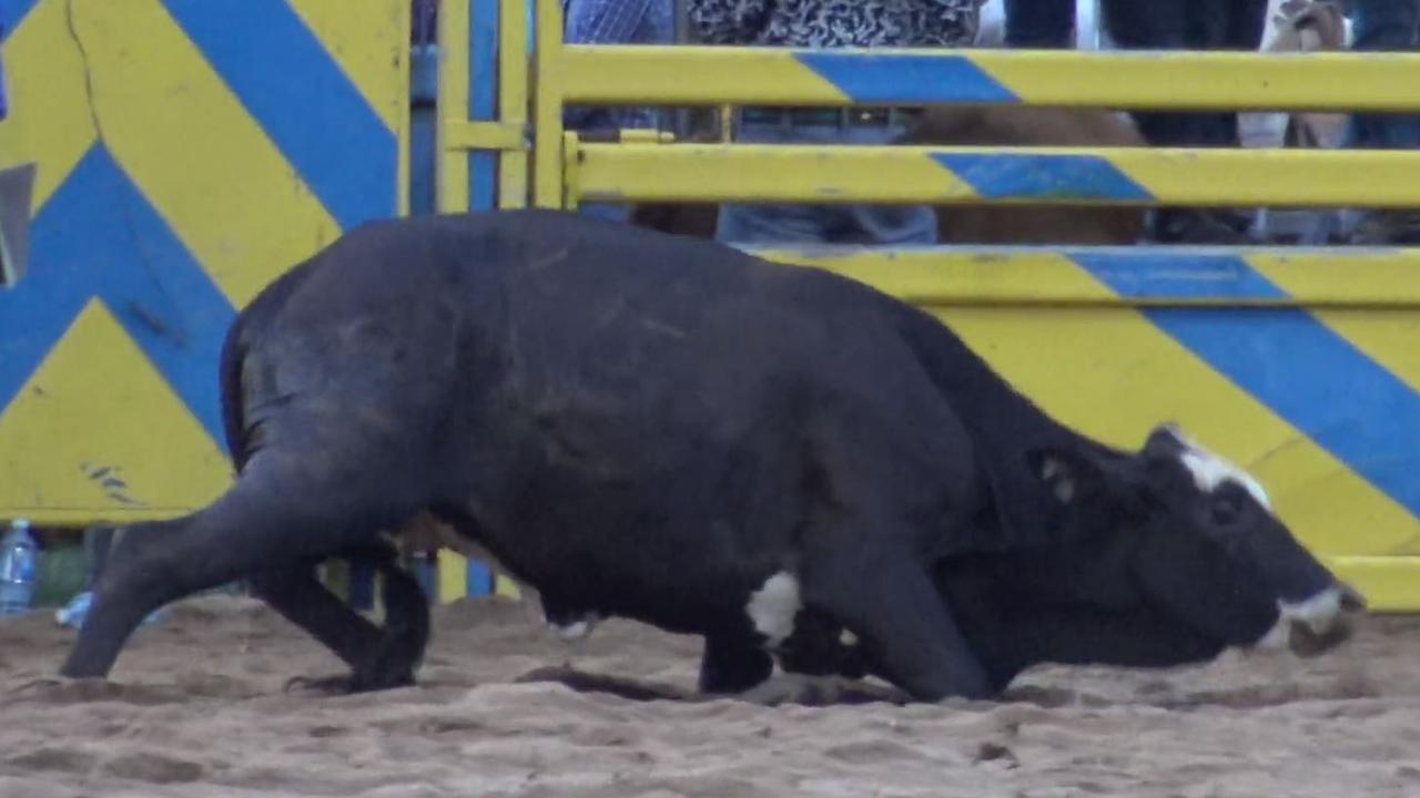 An animal struggles in the arena at Saturday's Bull n Bronc on Saturday. Photo taken from a video supplied by Animal Liberation Queensland.