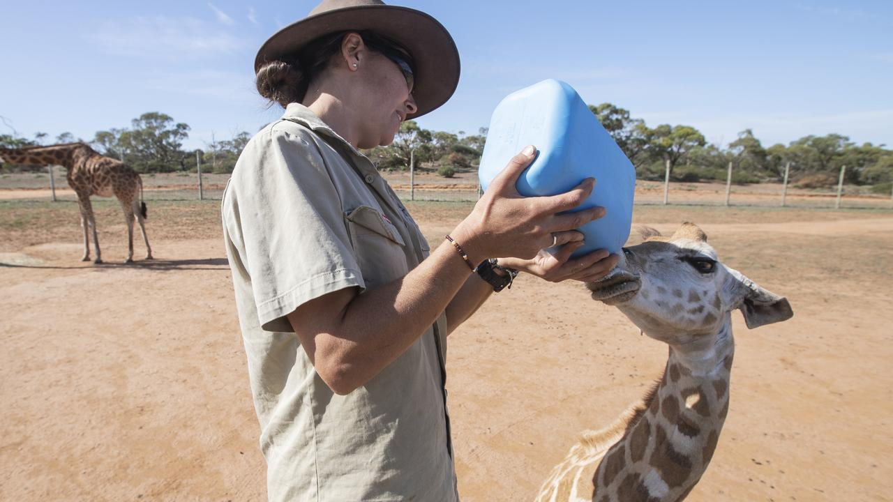 Ungulate Keeper Haidee Kinter hand-feeding Nolean, a four-month-old Giraffe at Monarto Safari Park. Picture: Simon Cross