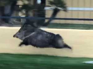 Video of sprinting 'pig' hailed as 'magnificent'