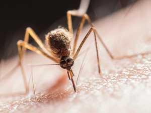 Elephant mosquito surge threatens QLD