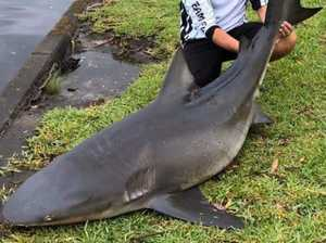Monster bull shark pulled from canal system