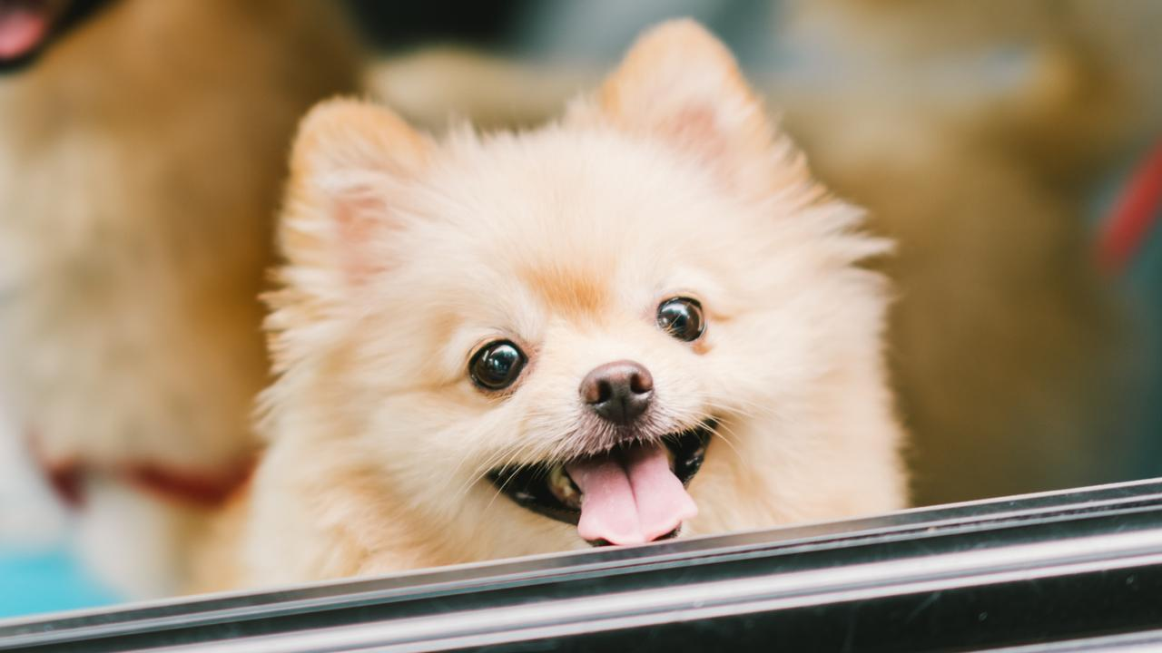 The dog is believed to be a pomeranian. Picture: iStock