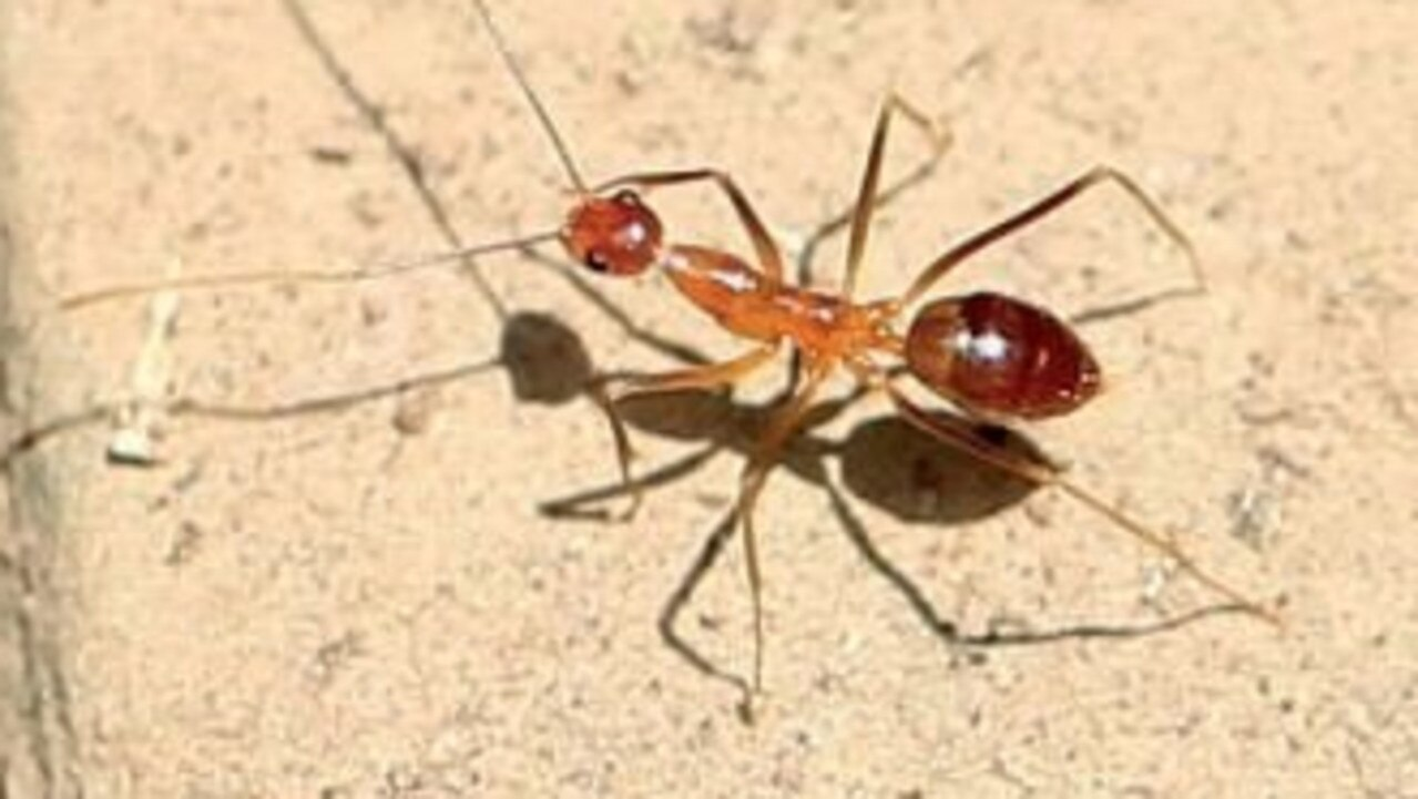 Yellow crazy ants have been detected in Earlville for the first time.