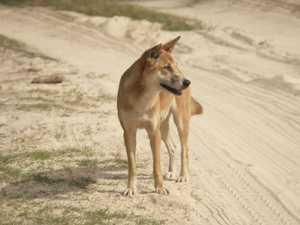 Fraser Island visitors slapped with dingo fines