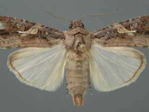 Growers on alert as moth pest detected in Australia