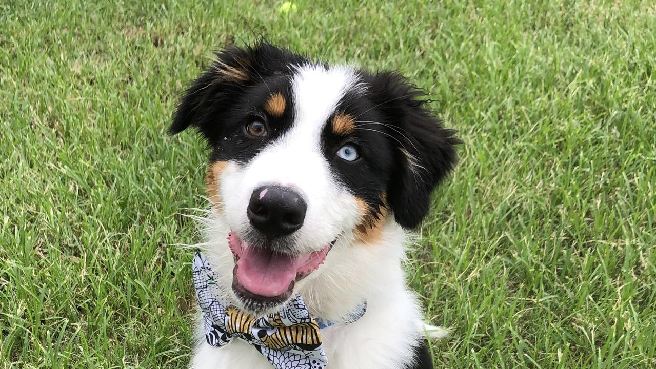 This is Rollo, an Australian Shepherd. He's almost 5 months old and a true working dog at heart. Picture: Blaice McCaul