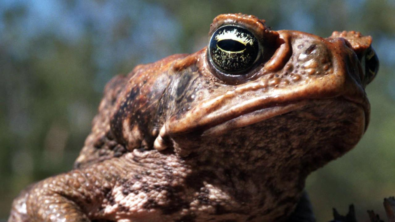 They are the backyard visitors nobody wants to see but now one council has launched a clever contraption to get rid of cane toads. This is how it works.