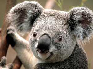 Suburbs where our koala habitat is disappearing
