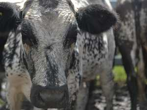 Canadian cattle less 'thin-skinned' than usual stock
