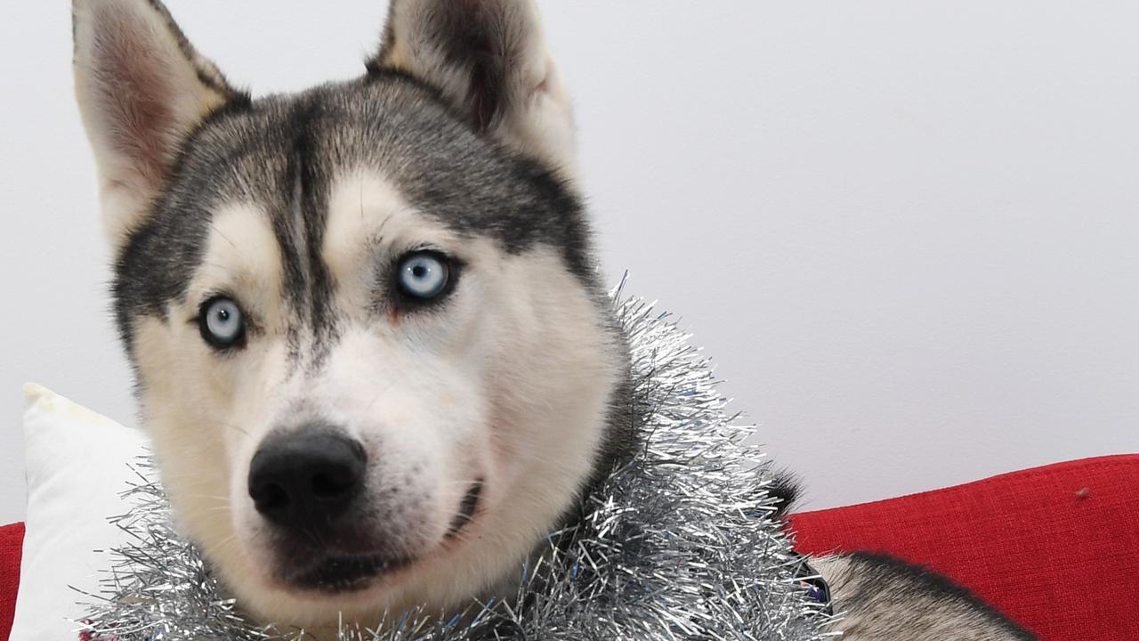 A siberian husky, like this one, was the reason a Curra man assaulted his 60-year-old neighbour. Picture KATRINA BRIDGEFORD.