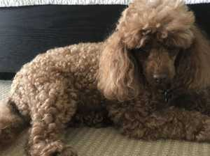 Owner's heartbreaking plea after toy poodle mauled to death