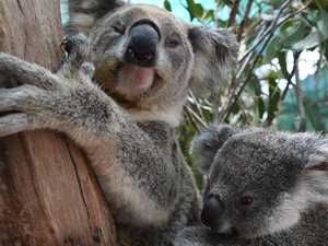 Volunteer to help create new habitat for local koalas