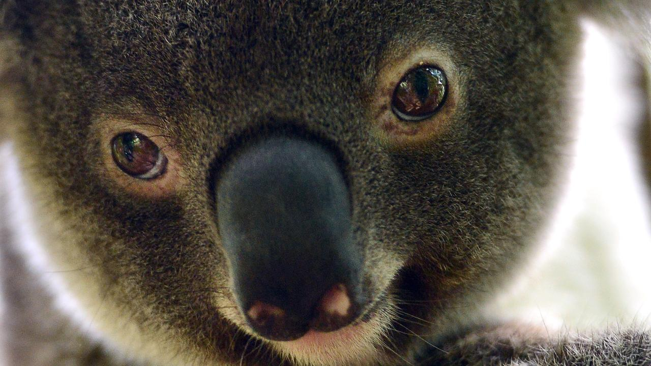 A new koala state planning policy has been criticised.