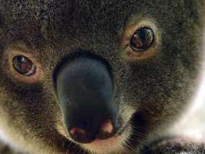 Koala habitat protection changes slammed