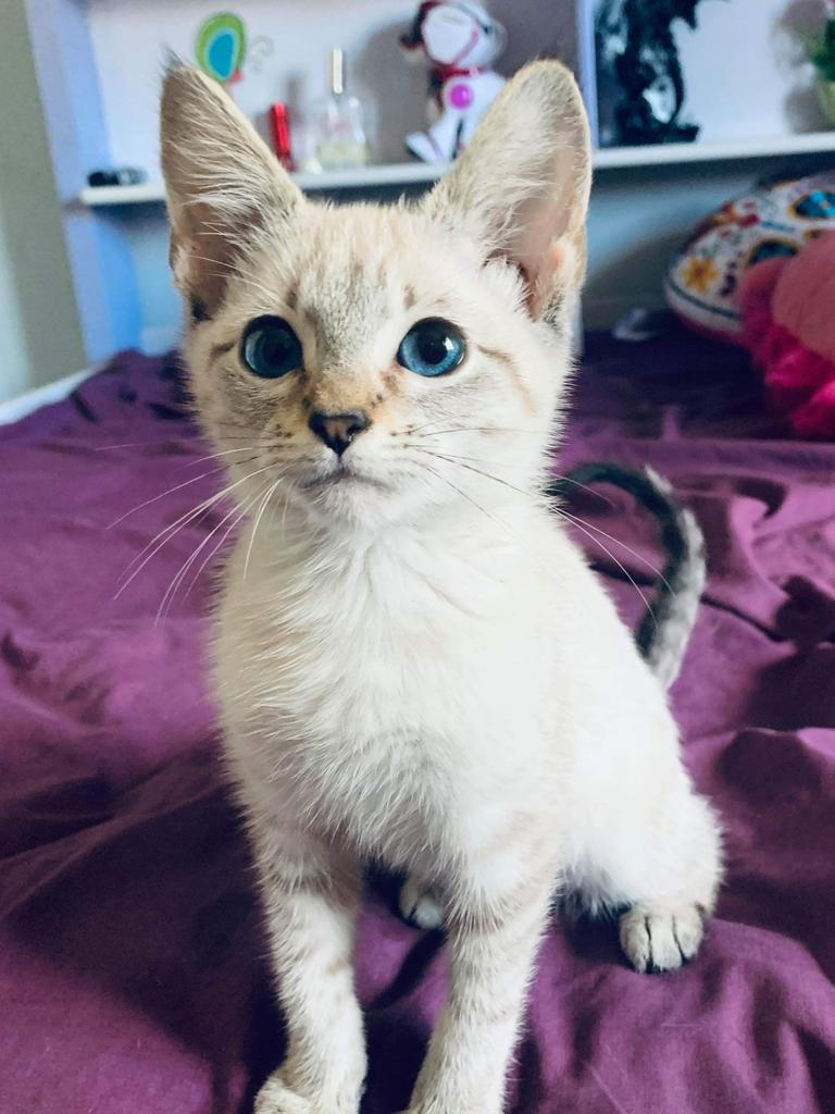 Marshmallow the kitten, approximately 9 weeks old in this photo. Picture: Belinda Stevens