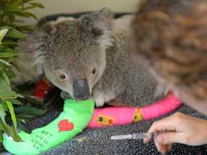 RACQ members raise $70,000 for injured koalas
