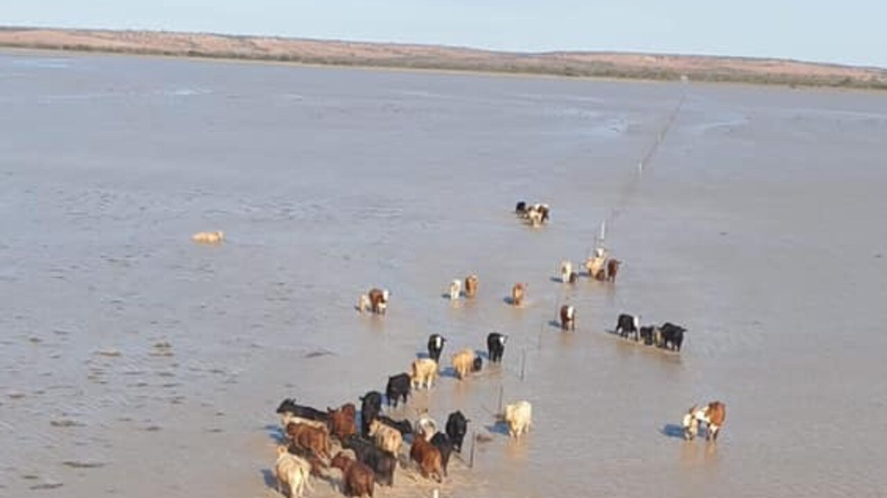Incredible images show inland sea in Queensland's Outback, as the state's southwest continues to endure major flooding, stranding entire herds of cattle.