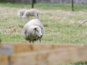 Pre-amalgamation law saves lives of escapee sheep